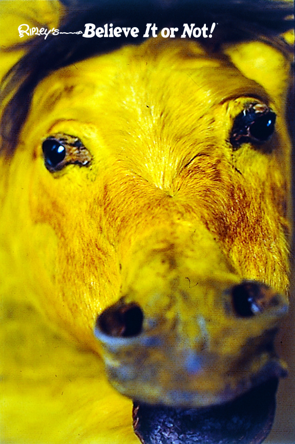 Inflated Yellow Horse Closeup