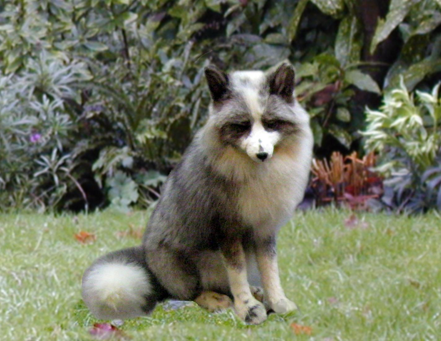 Platinum fox