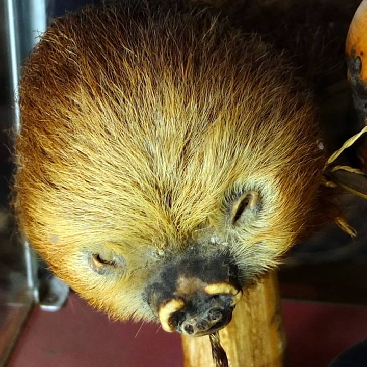 Sloth heads were used as substitutes for human heads
