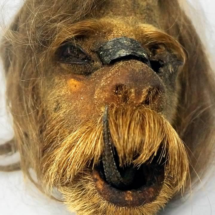 Siberian shrunken face