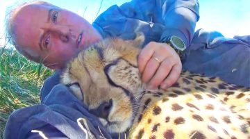 cuddle cheetah