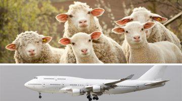 sheep plane