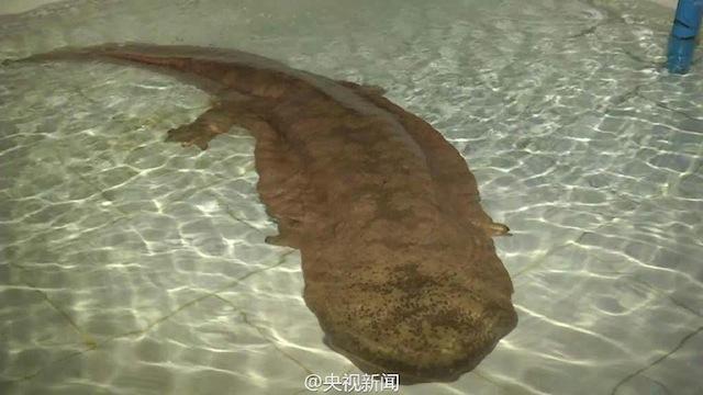 giant salamander found