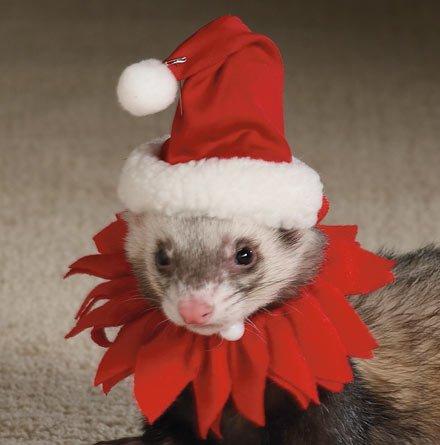 ferret santa hat
