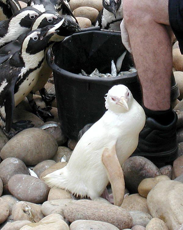 snowdrop the albino penguin