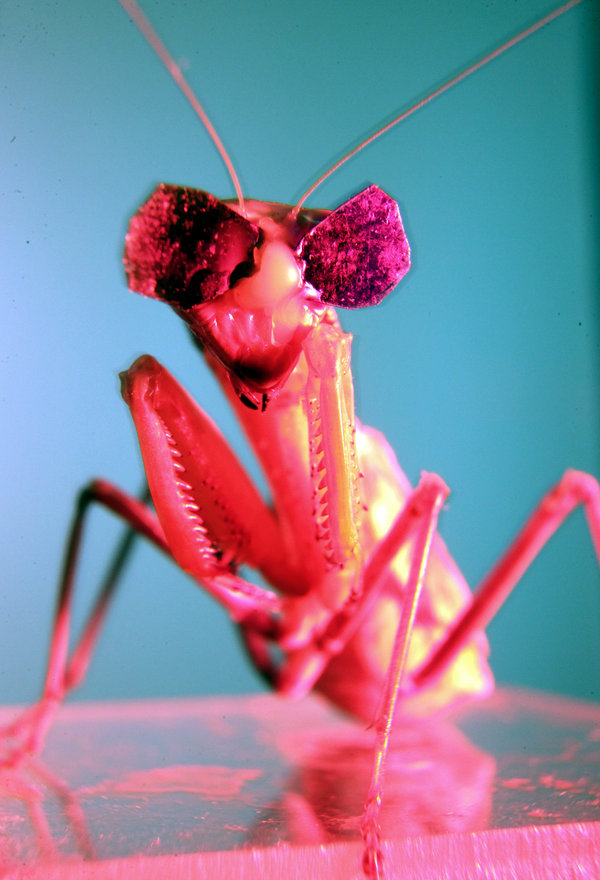 Newcastle University research into 3D vision in praying mantises by Dr. Vivek Nityananda. Pic: Mike Urwin. 151015