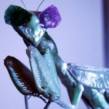 mantis with 3-d glasses