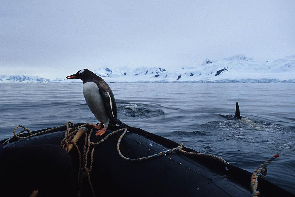 penguin escapes whale