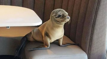 Sea-Lion-Pup