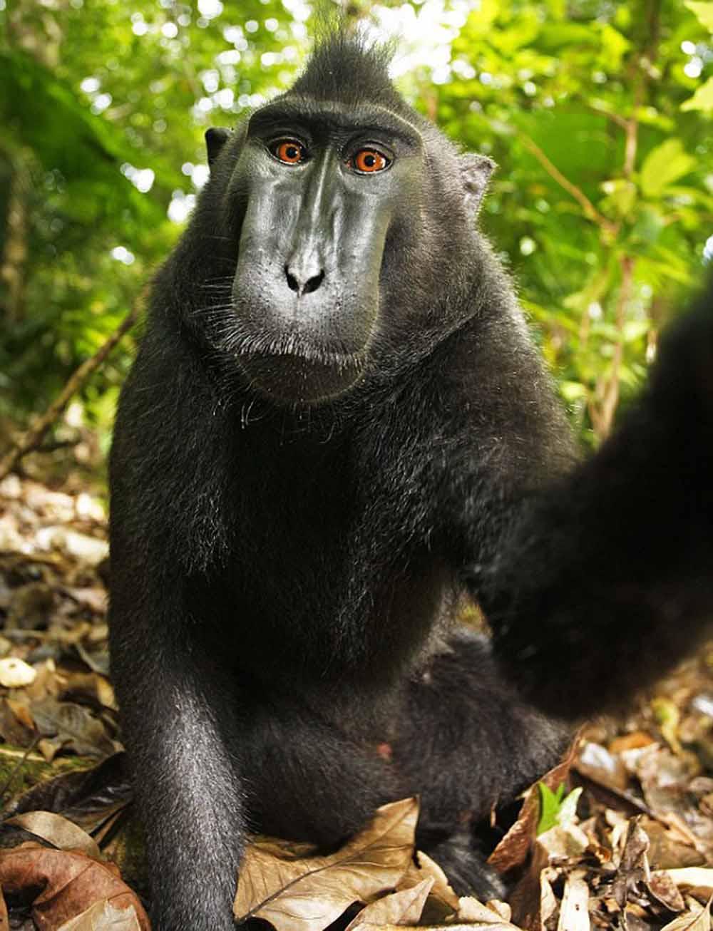 monkey-selfie-2