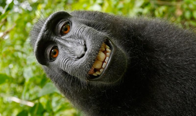 Judge rules on monkey selfie can monkeys own copyright monkey selfie voltagebd Images