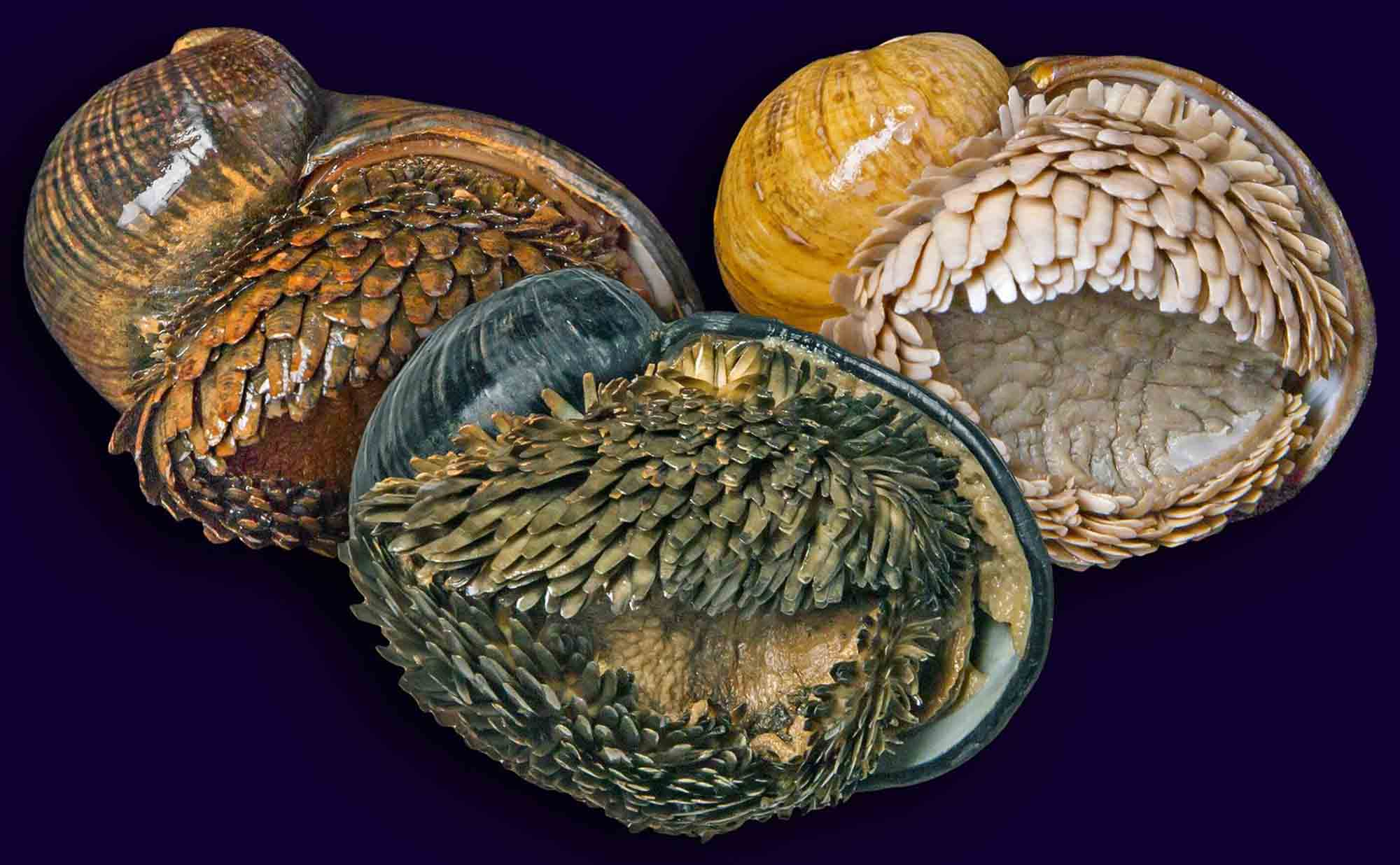 scaly-foot snail