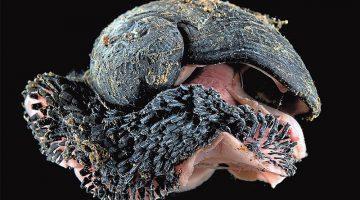 iron-shelled snail