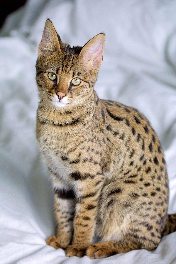 600px-Savannah_Cat_portrait