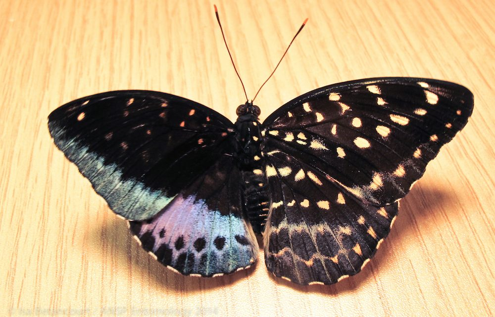 RARE BUTTERFLY WITH MALE AND FEMALE WINGS