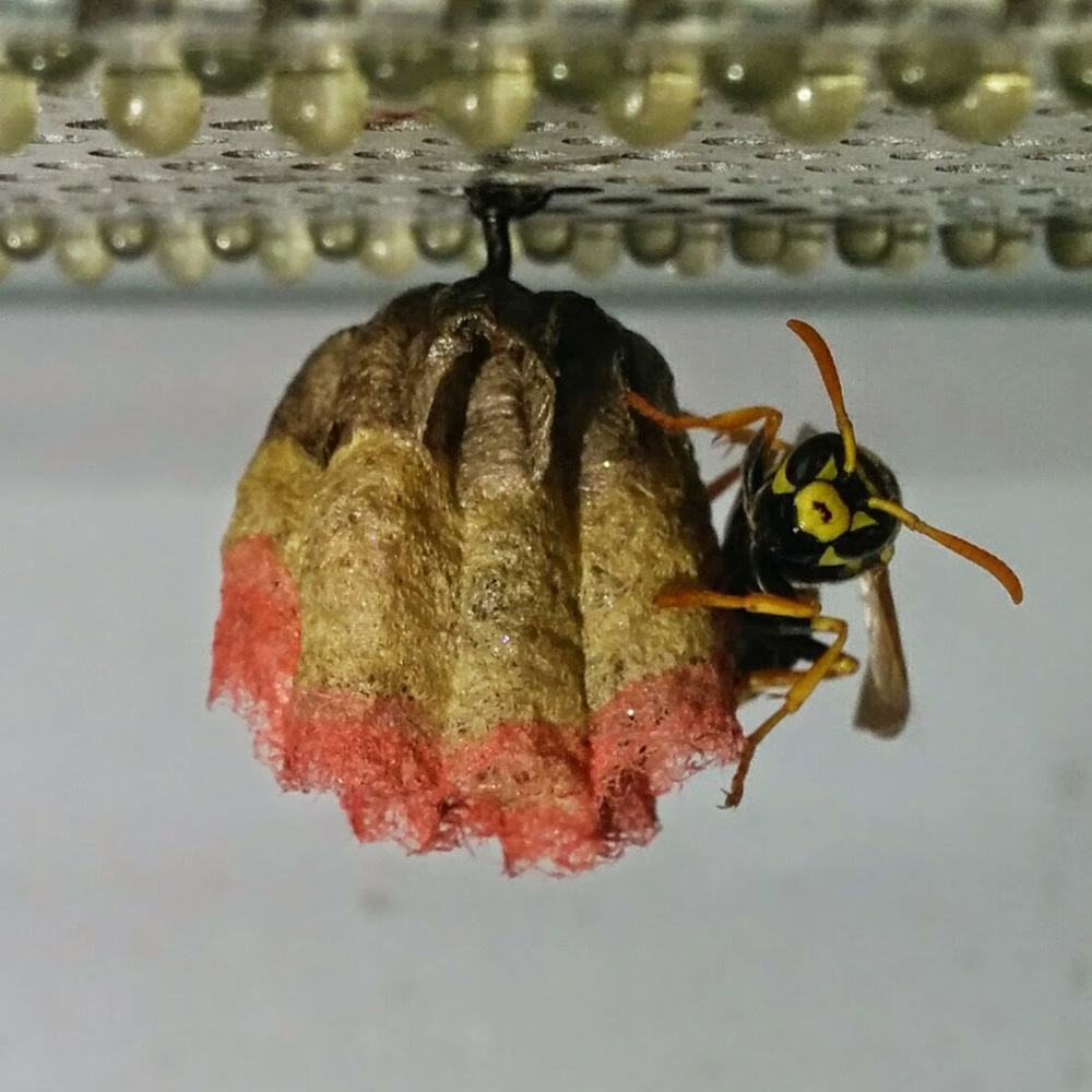 wasps nest Where in your home wasp and bee nests most occur and what to do if you find a nest.