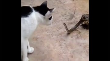 cat, snake, toad
