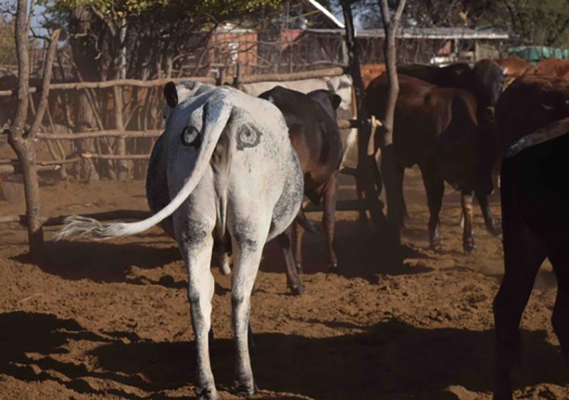 i-cow