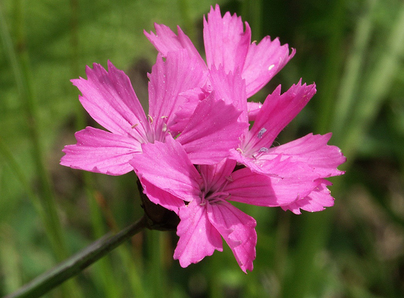 The color pink is named after the dianthus flower dianthus flower mightylinksfo