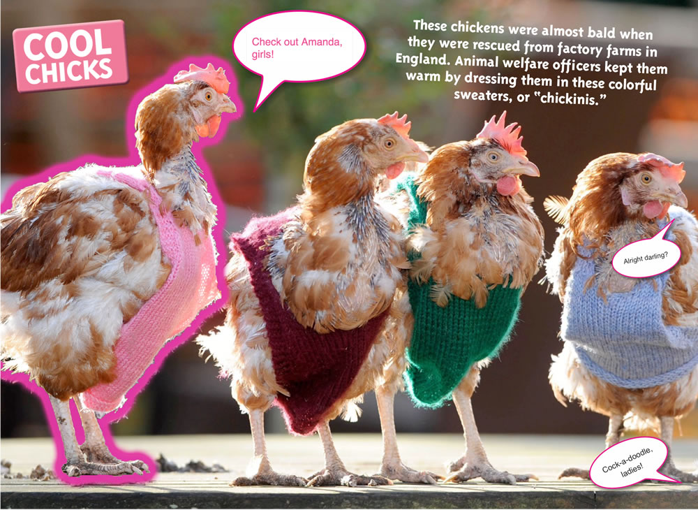 fun-facts-chickens-2