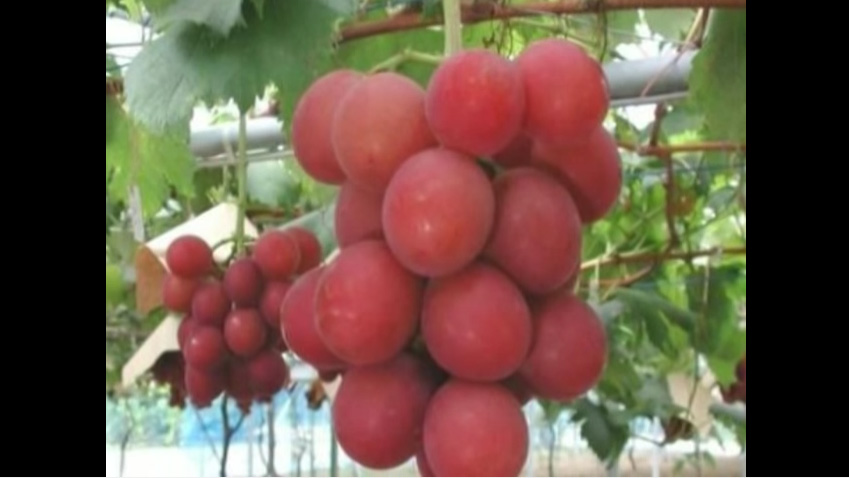 Ruby Roman Grapes