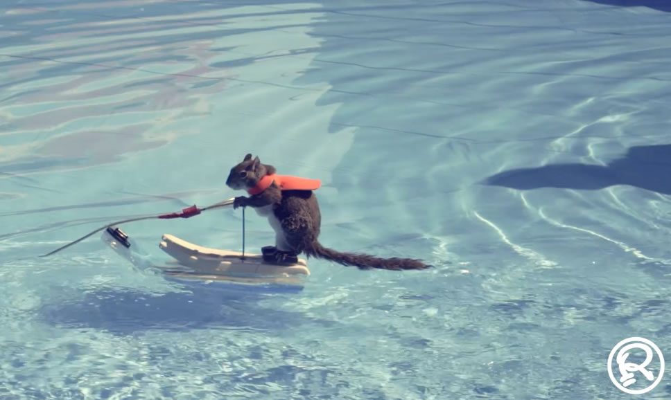 Twiggy, the waterskiiing squirrel at Ripley`s