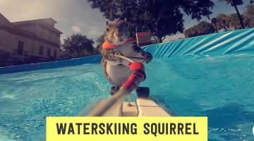 Twiggy, the waterskiiing squirrel at Ripley's