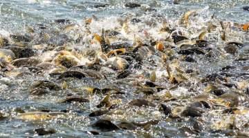 80,000 trout