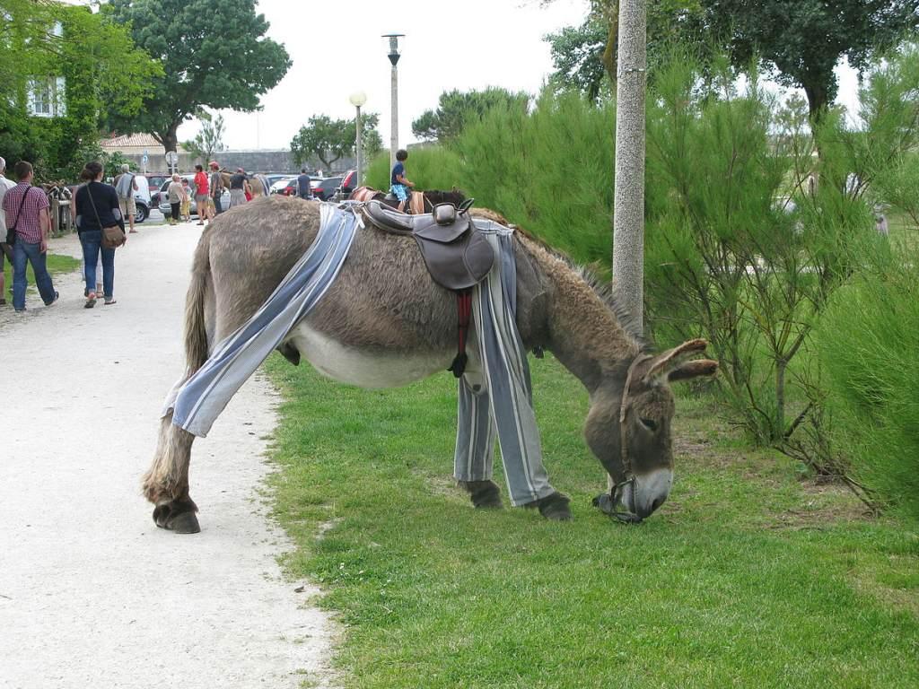 poitou-donkey