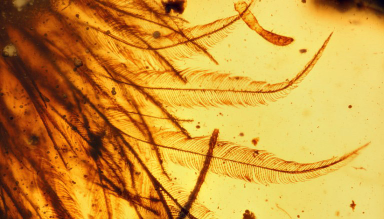 feathered dinosaur tail in amber