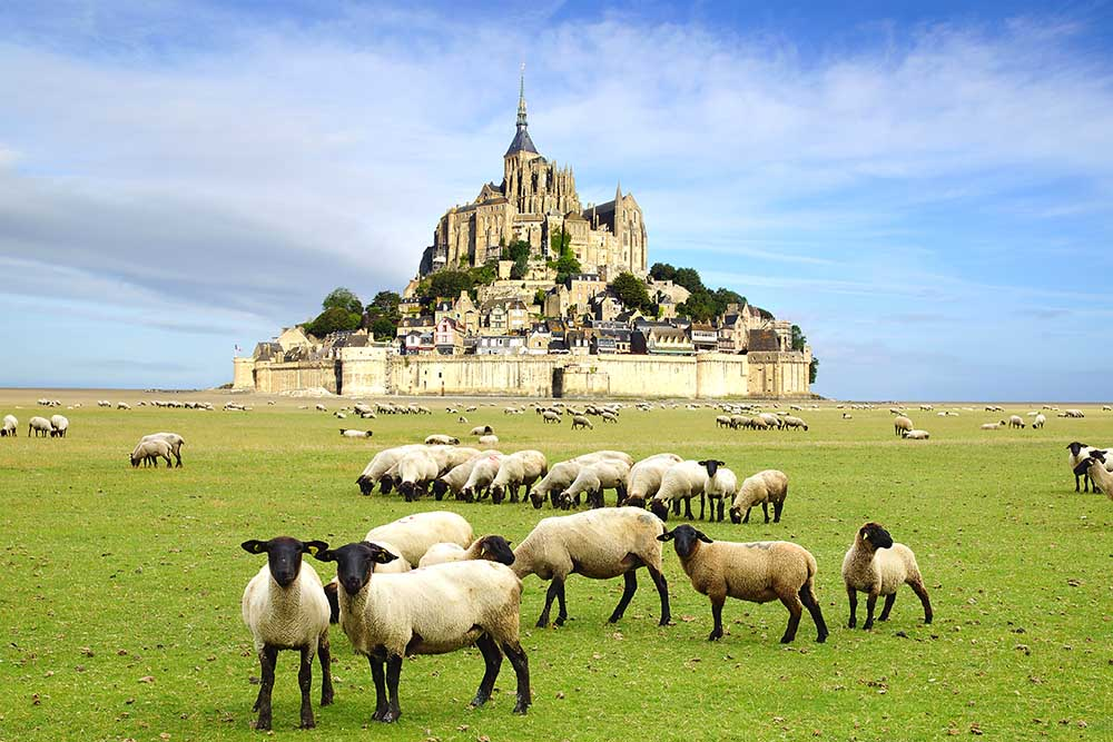 Sheep grazing near mont saint michel