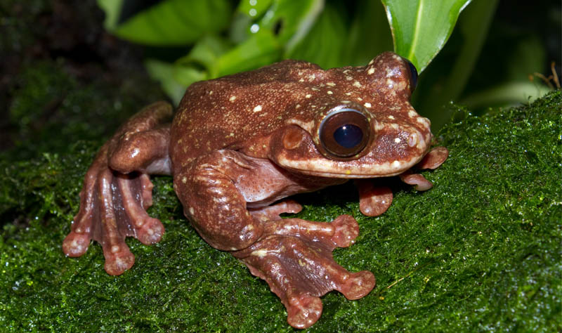 toughie the extinct frog
