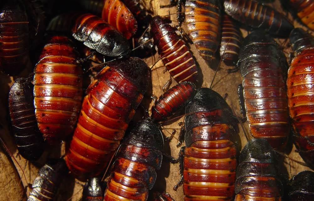 madagascar-hissing-cockroach