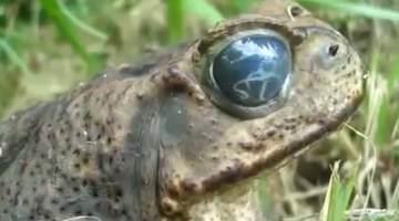 frog eye parasite