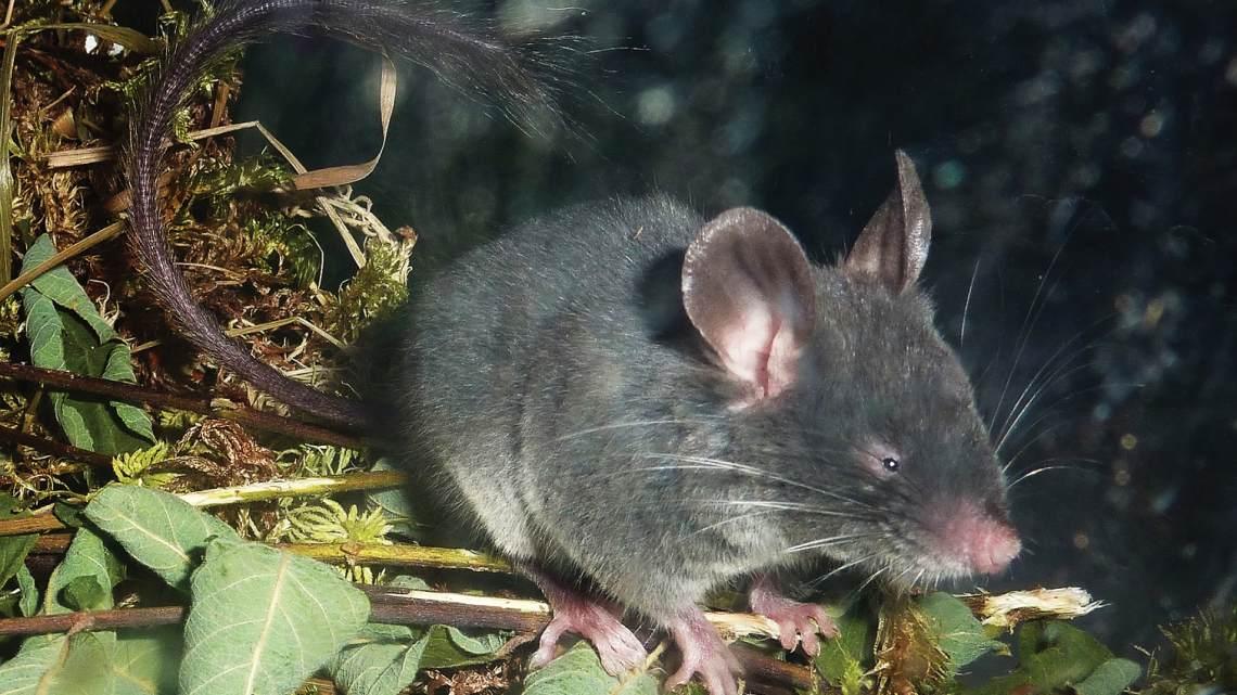 mouse uses echolocation