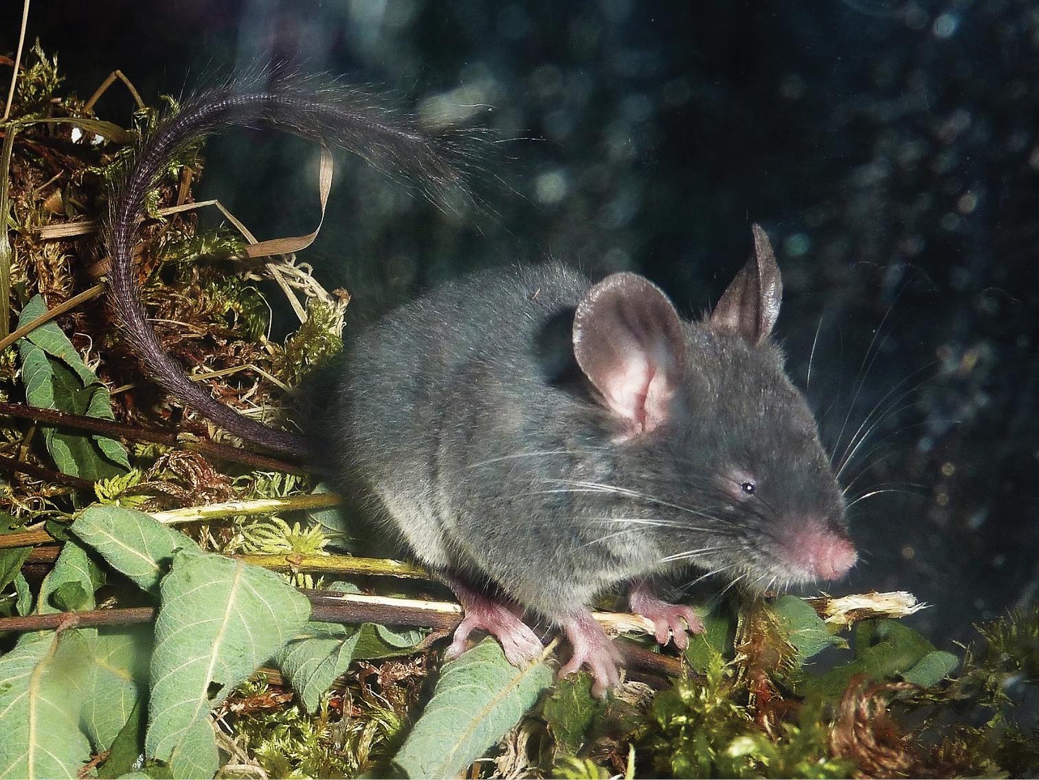 Este rato utiliza Ecolocalização e é basicamente um morcego sem asas