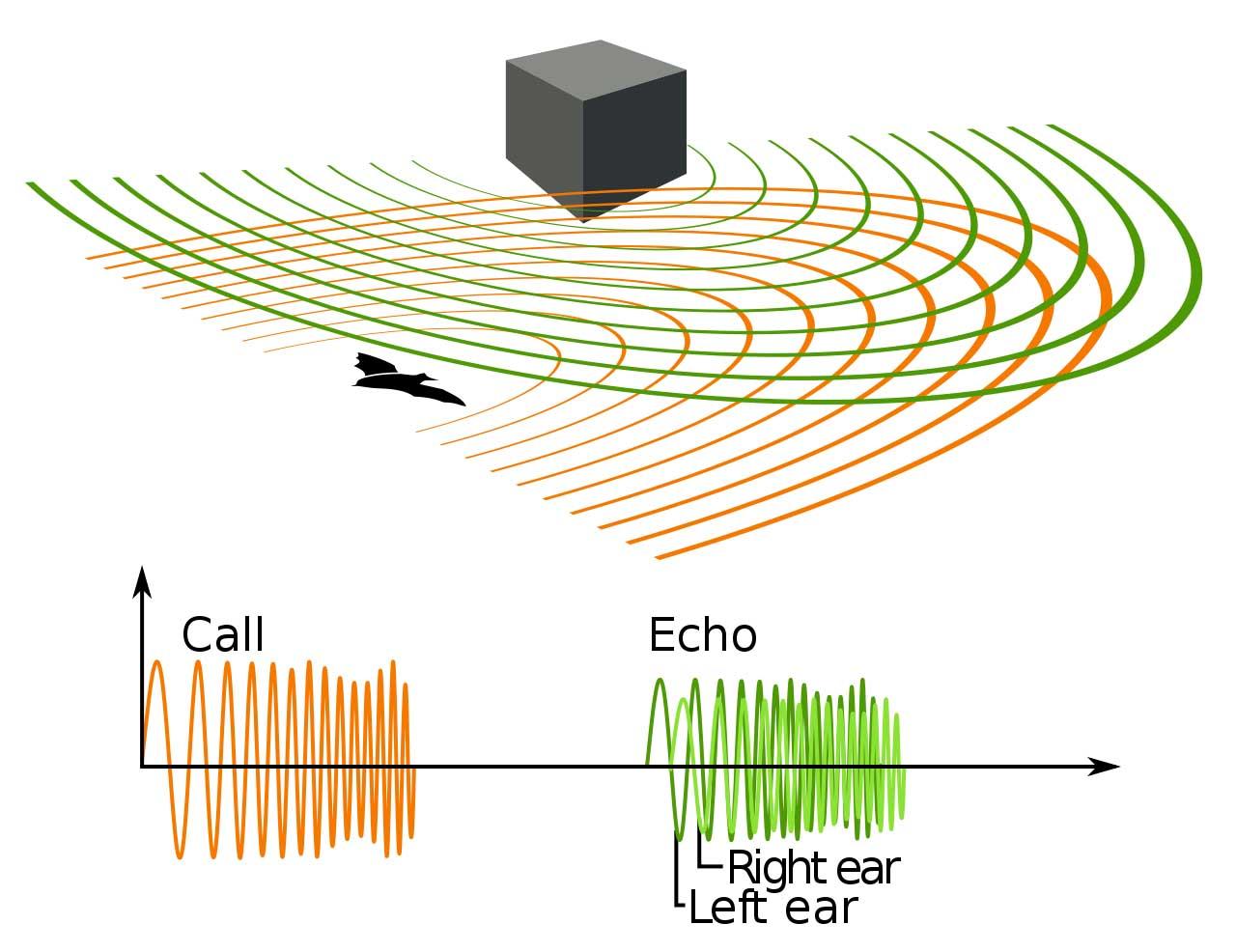 echolocation diagram