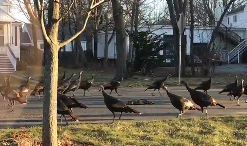 turkeys circle dead cat