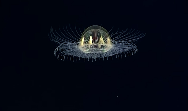 Cosmic Jellyfish Illuminates the Deep-Sea