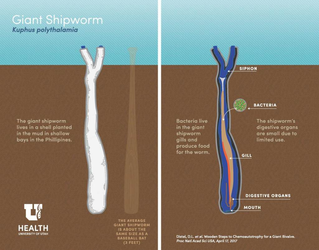 A New Giant Slimy Species Is Found, and It's Frightening: Giant Shipworm