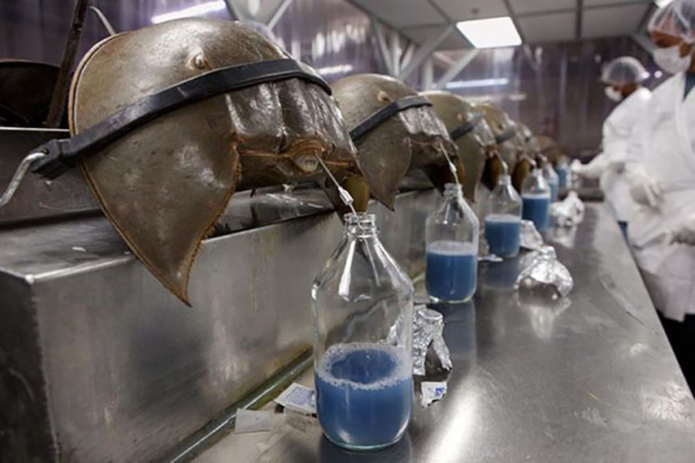 horseshoe crab blood