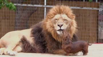 lion and weenie dog