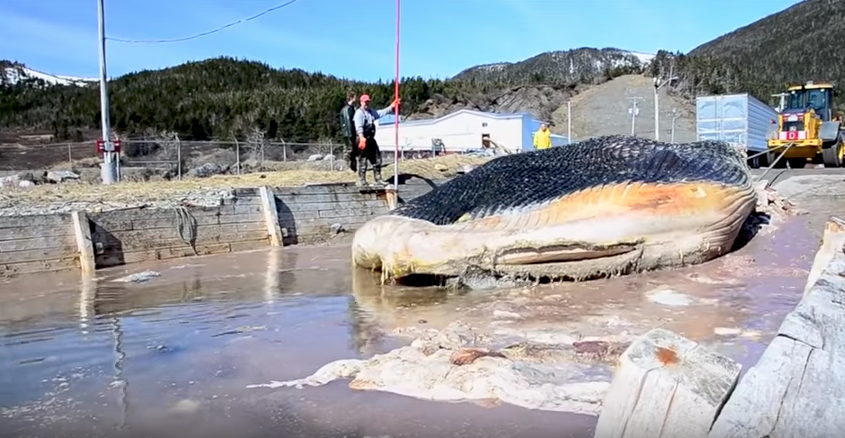 The Blue Whale carcass