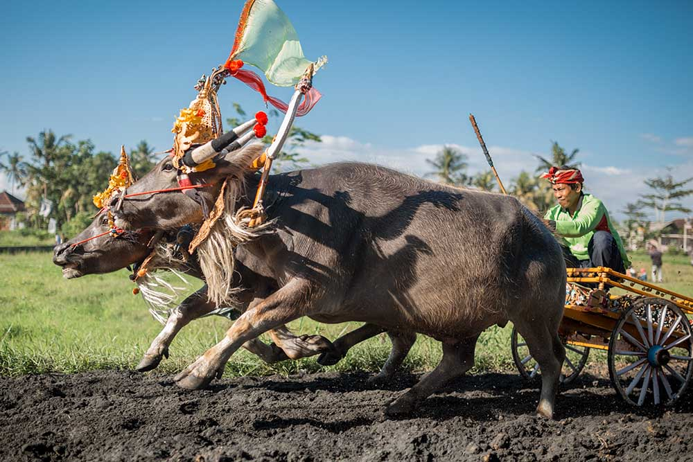 makepung animal athletics