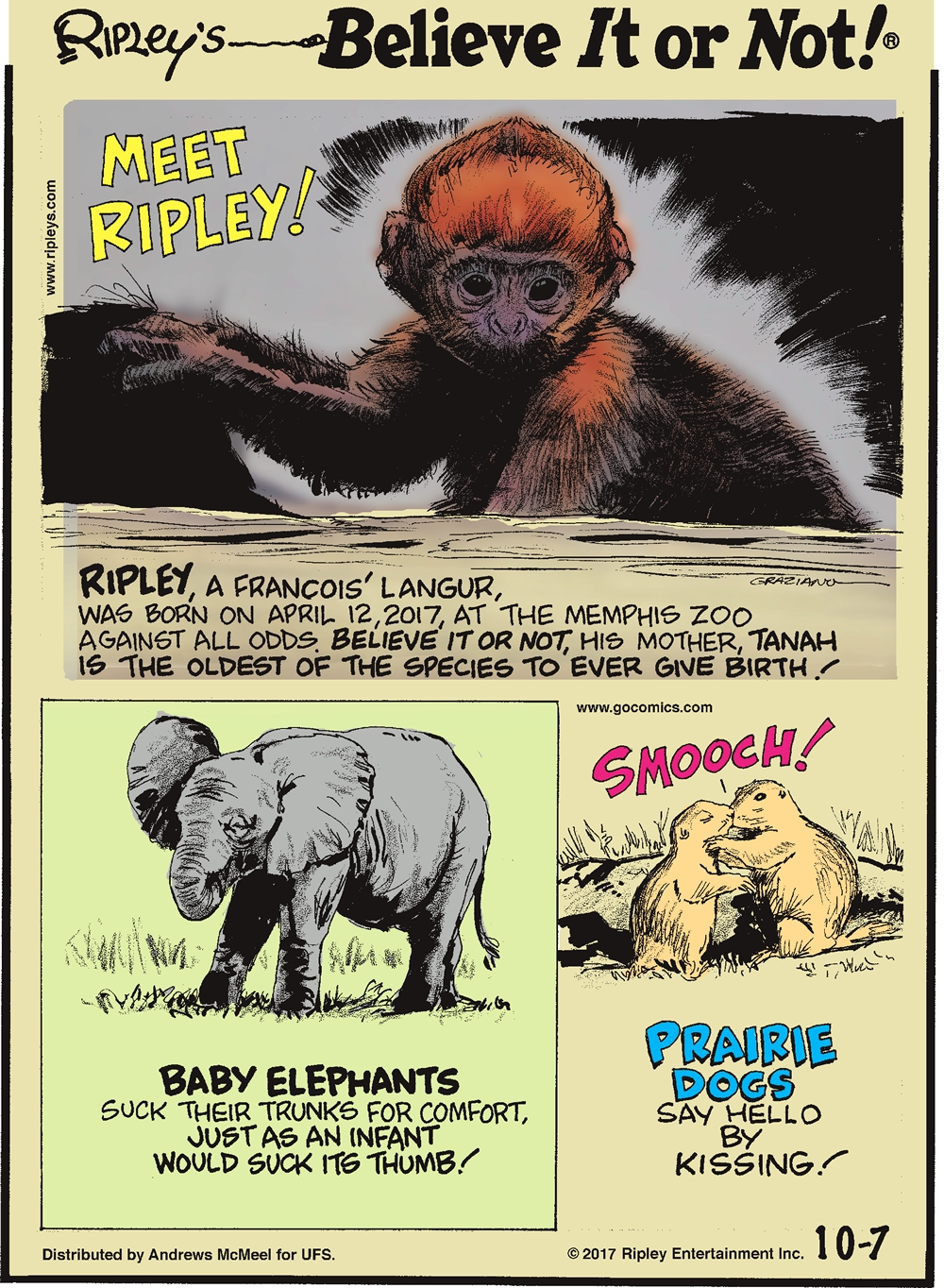 Ripley, a Francois' Langur, was born on April 12, 2017, at the Memphis Zoo against all odds. Believe it or not, his mother, Tanah is the oldest of the species to ever give birth!-------------------- Baby elephants suck their trunks for comfort, just as an infant would suck its thumb!-------------------- Prairie dogs say hello by kissing!