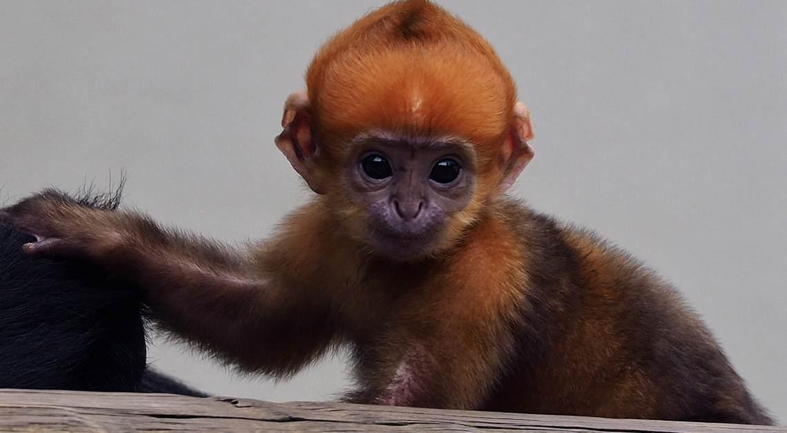 Monkey Ripley