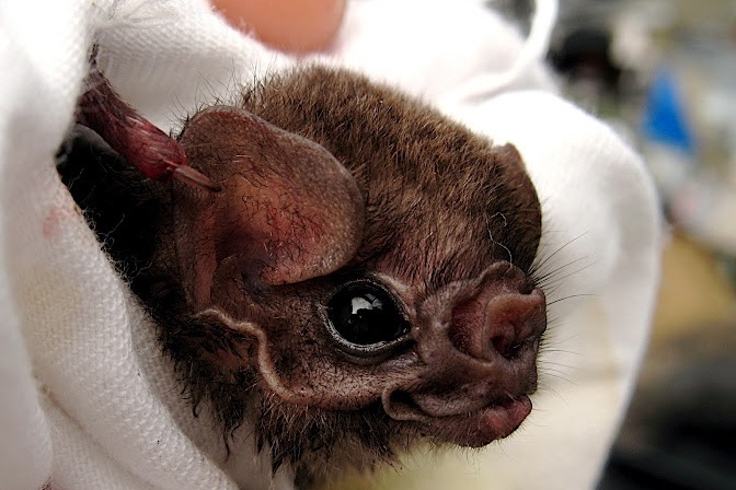 hairy-legged vampire bat