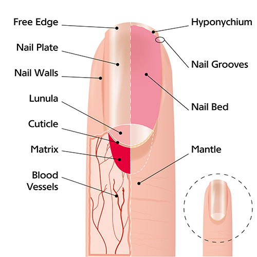 Or not hair and nails grow after death battlefordsnow fingernail diagram ccuart Choice Image