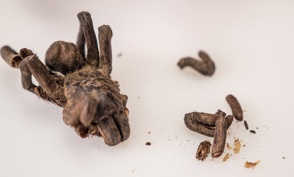 dried tarantula