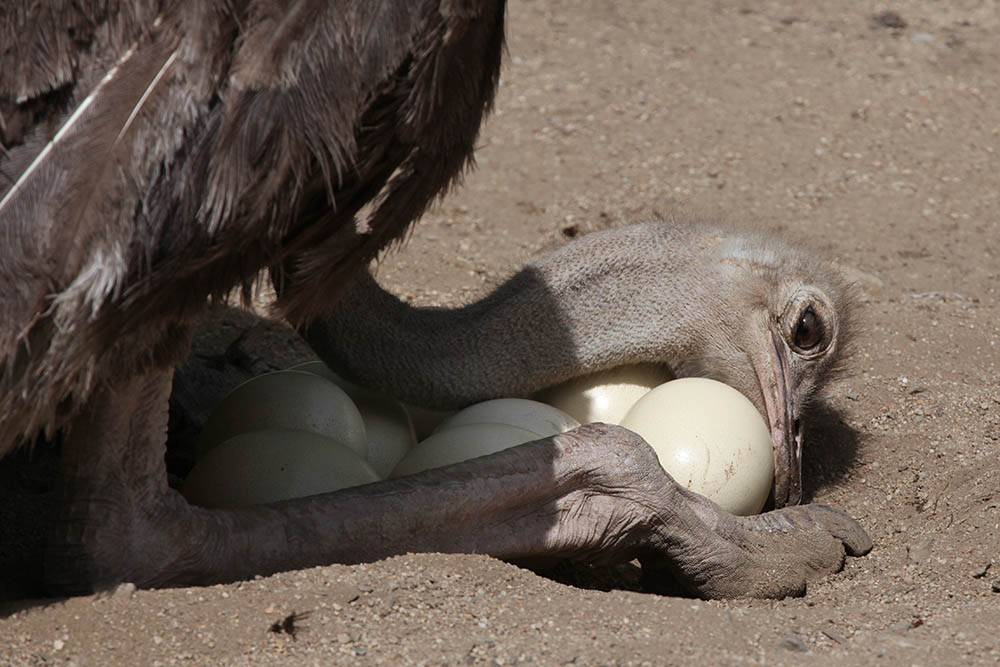 ostriches protect their eggs